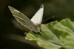 Grüner Schmetterling Stockfotos