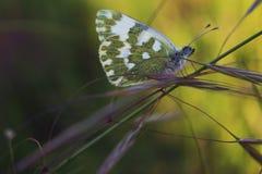 Grüner Schmetterling lizenzfreies stockbild