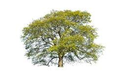 Grüner Sommerbaum getrennt Stockfotografie