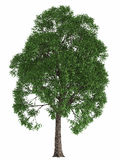 Grüner Sommerbaum lokalisiert auf weißem Hintergrund übertragen Sie Gestaltungselement-Ahornpappel der hohen Qualität Lizenzfreies Stockfoto