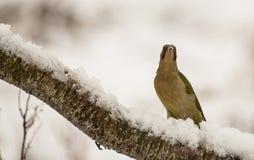 Grüner Specht mit Schnee Lizenzfreie Stockfotos