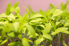 Grüner Sprössling Stockfotos