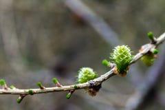 Grüner Sprössling auf einer Niederlassung im Frühjahr Stockfotografie