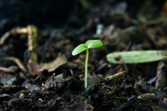 Grüner Sprössling, der vom Samen auf Boden wächst Lizenzfreie Stockfotos