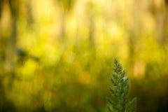 Grüner Sprössling des Grases steht heraus auf einem undeutlichen sonnigen Waldhintergrund Stockfotos