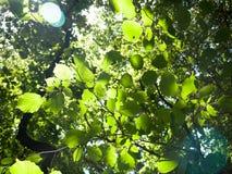 Grüner Stoff verlässt oben an Sommer ` s Tag mit Sonneneruption Stockbilder