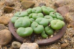 Grüner Succulent Stockfotos