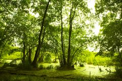 Grüner Sumpf Lizenzfreie Stockfotos