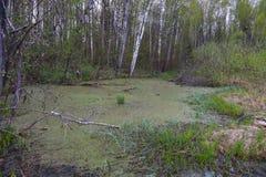 Grüner Sumpf mit Gras und Büschen Stockbild