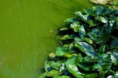 Grüner Sumpfwasserhintergrund 2 Stockbilder