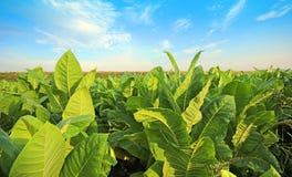 Grüner Tabak Lizenzfreies Stockfoto
