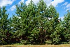 Grüner Tannenbaum aufrecht und über ihnen ein blauer Himmel Stockbild