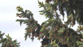 Grüner Tannenbaum viele Kegel stock footage
