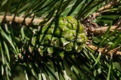 Grüner Tannenzapfen auf einer Niederlassungsnahaufnahme Lizenzfreie Stockfotografie