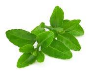 Grüner Tee Lizenzfreie Stockfotografie