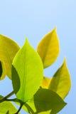 Grüner Tee Stockfotografie