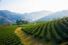 Grüner Tee Lizenzfreies Stockbild