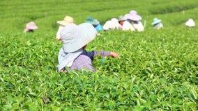 Grüner Tee der Ernte stock footage