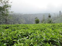 Grüner Tee Felder lizenzfreie stockfotografie