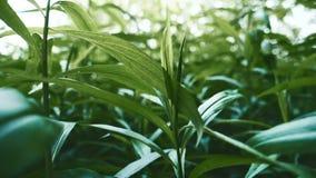 Grüner Tee im Freien stock video