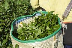 Grüner Tee im Korb in der Erntezeit Stockfotos