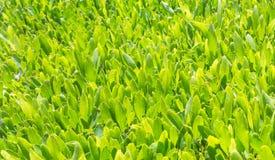 Grüner Tee ist wachsend Lizenzfreies Stockbild