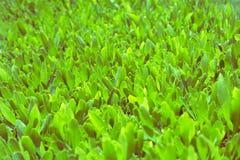 Grüner Tee ist wachsend Lizenzfreies Stockfoto