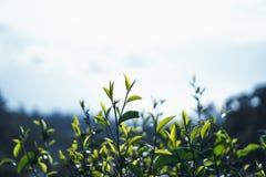 Grüner Tee, Teebaum, Teeblätter, dunkles Blatt Assam-Tees stockfotos