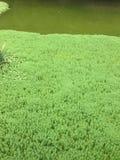 Grüner Teich bedeckt durch unzählige Anlagen stockfotos