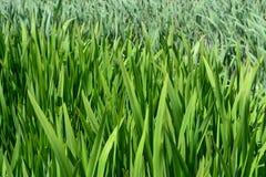 Grüner Teich las Hintergrund Stockfotos