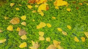 Grüner Teich mit den Blättern, die auf ihn fließen Eine Herbstruhelandschaft stock video