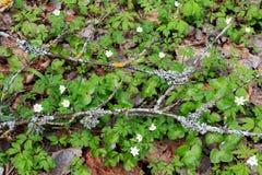 Grüner Teppich von Frühlingsanlagen im Wald Lizenzfreies Stockfoto