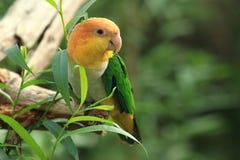 Grüner-thighed Papagei lizenzfreie stockbilder