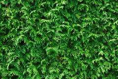 Grüner Thuja-Hecke-Hintergrund Stockfoto
