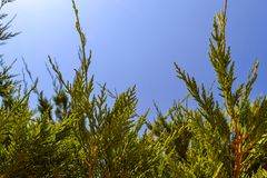 Grüner thuya Baum über natürlichem Hintergrund des blauen Himmels Stockfotografie