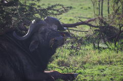 Grüner Tick Birds auf Kap-Büffel lizenzfreie stockfotografie