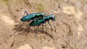 Grüner Tiger Beetles-Anschluss Stockfotos