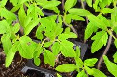 Grüner Tomatensämling Stockfotos