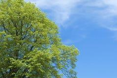 Grüner Treetop Stockbild