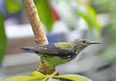Grüner tropischer Kolibri auf Zweig Lizenzfreies Stockfoto