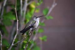 Grüner u. schwarzer Kolibri auf Niederlassung Lizenzfreies Stockfoto