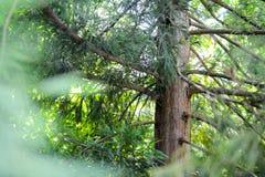 Grüner und brauner Baum mit langen Niederlassungen Stockfoto