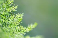 Grüner und frischer Asparagaceae mit dem schönen unscharfen bokeh, lokalisiert im dunkelgrünen Hintergrund Lizenzfreies Stockbild