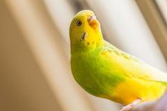 Grüner und gelber gescheckter Wellensittich, Sittich im natual Licht Lizenzfreie Stockbilder