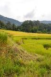 Grüner und gelber Schritt/terassenförmig angelegtes Reisfeld stockfotografie