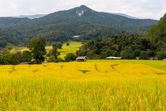 Grüner und gelber Schritt/terassenförmig angelegtes Reisfeld mit Hütte lizenzfreies stockfoto