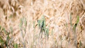 Grüner und gelber Weizen Stockbilder