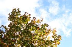 Grüner und orange Ahornbaum Lizenzfreie Stockbilder
