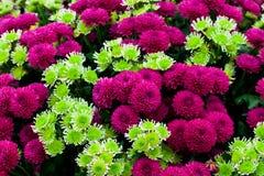 Grüner und purpurroter Chrysanthemehintergrund Lizenzfreie Stockfotografie