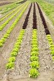 Grüner und roter Salat Lizenzfreie Stockbilder